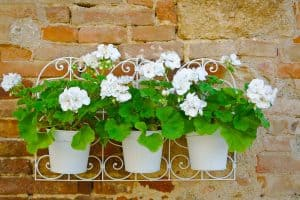 Geranium Hanging Baskets (Care Guide, PICTURES and more)