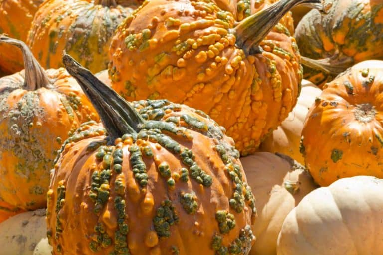 How to Grow Knucklehead Pumpkins