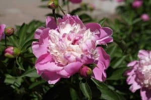 How to Grow a Bowl of Beauty Peony (Step-by-Step Guide & PHOTOS)