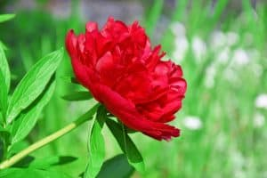 Red Charm Peony [Step-by-Step Guide & PHOTOS)