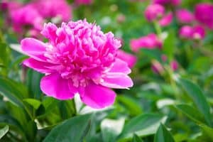 When Do Peonies Bloom (and For How Long)?