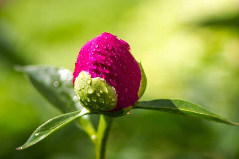 Where to Buy Peony Plants or Bulbs Online (Top 50 Stores)