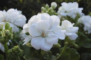 White Geraniums Guide: Care Tips, Pictures and Shopping Links