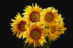 Why Are Sunflowers Yellow (And What Other Colors Can They Be)
