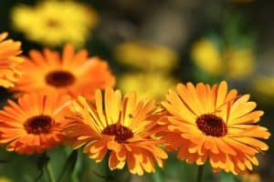 19 Annuals For Afternoon Sun [Tips and PICTURES Included]