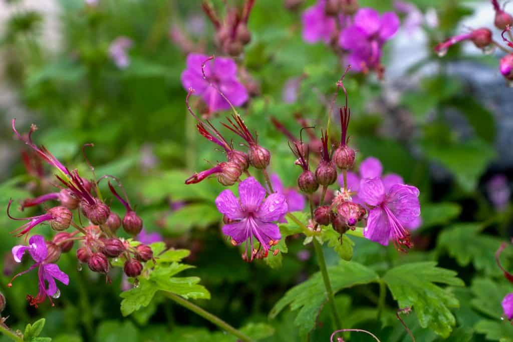 Geranium macrorrhizum with green leaves in the background