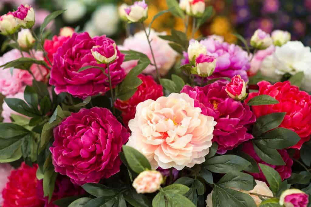Gorgeous peony flowers