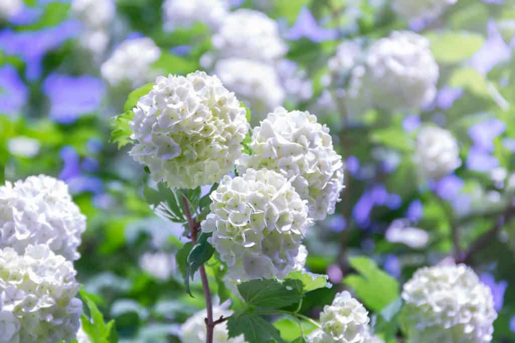 Gorgeous white Viburnum blooming at full sun