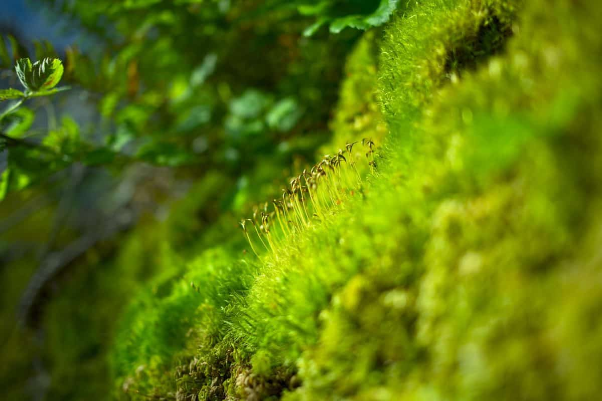 How To Create A Moss Lawn In 5 Easy Steps Garden Tabs