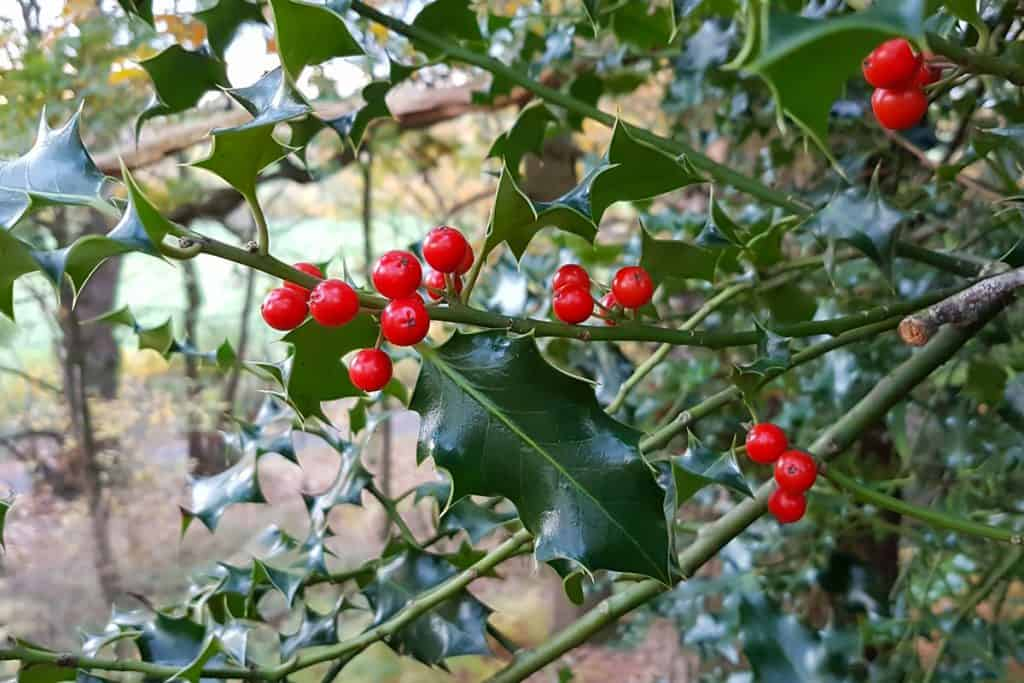 Holly shrub with grown seeds on its leaves