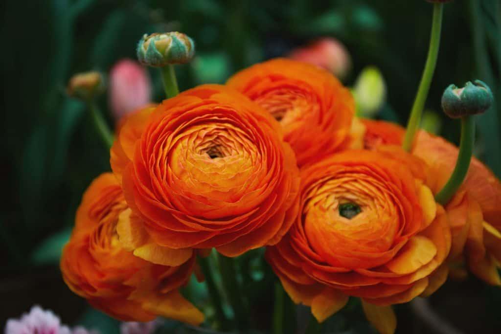 Orange renunculus