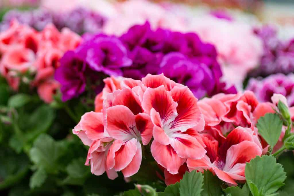 Pink red and violet geraniums