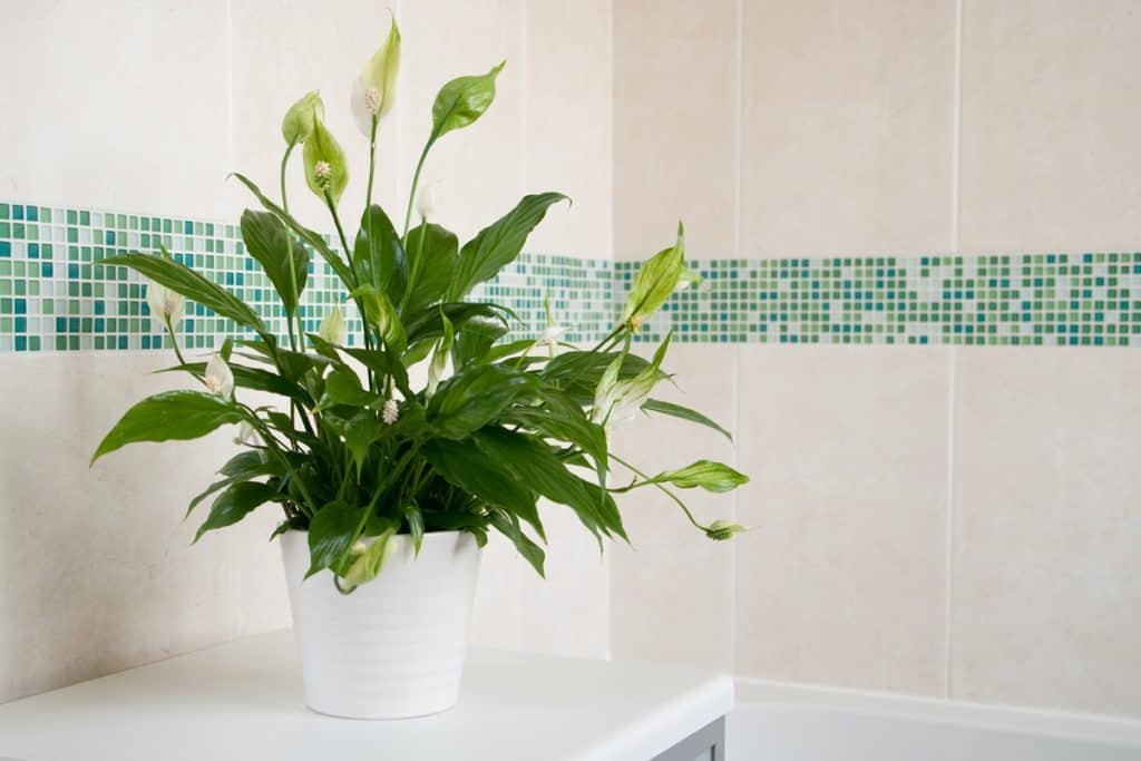 Peace lily placed indoor for decorative purpose