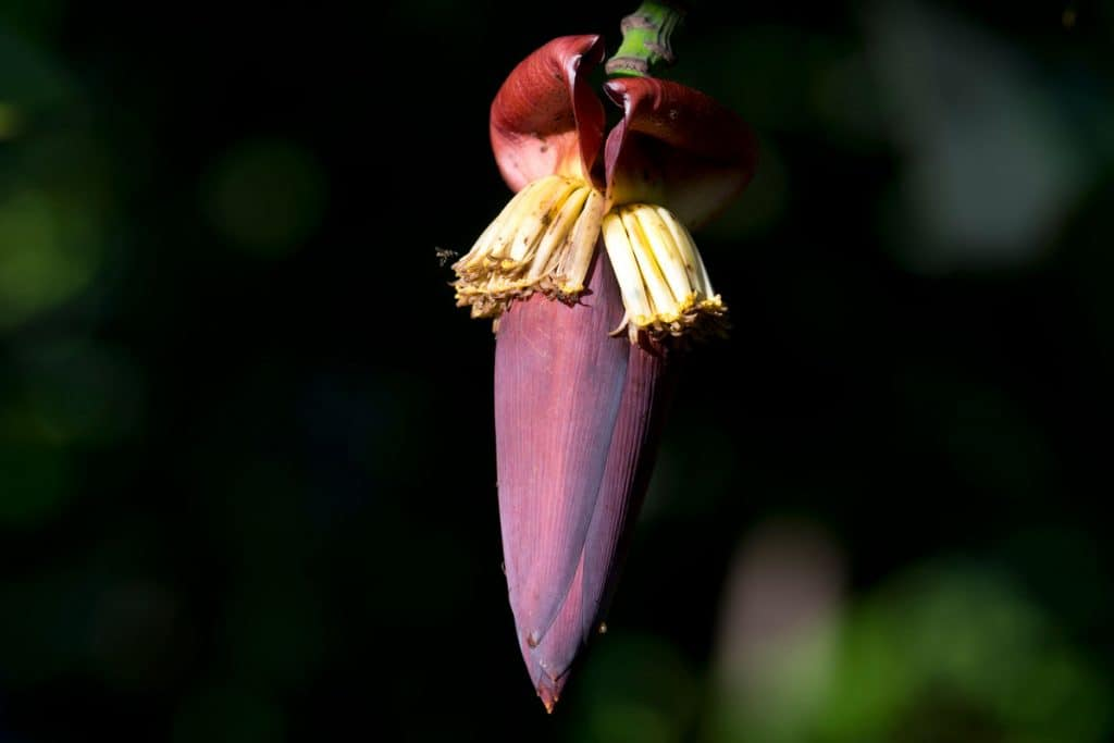 Plantain flower of a Banana tree