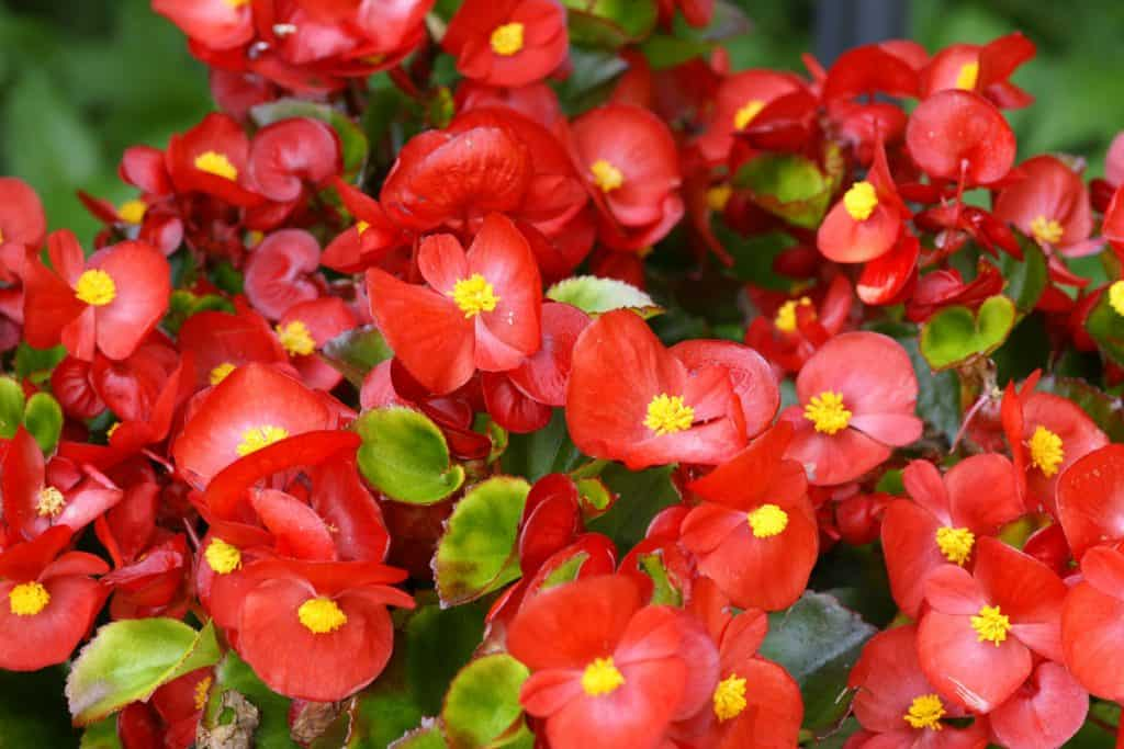 Red Begonias flowers