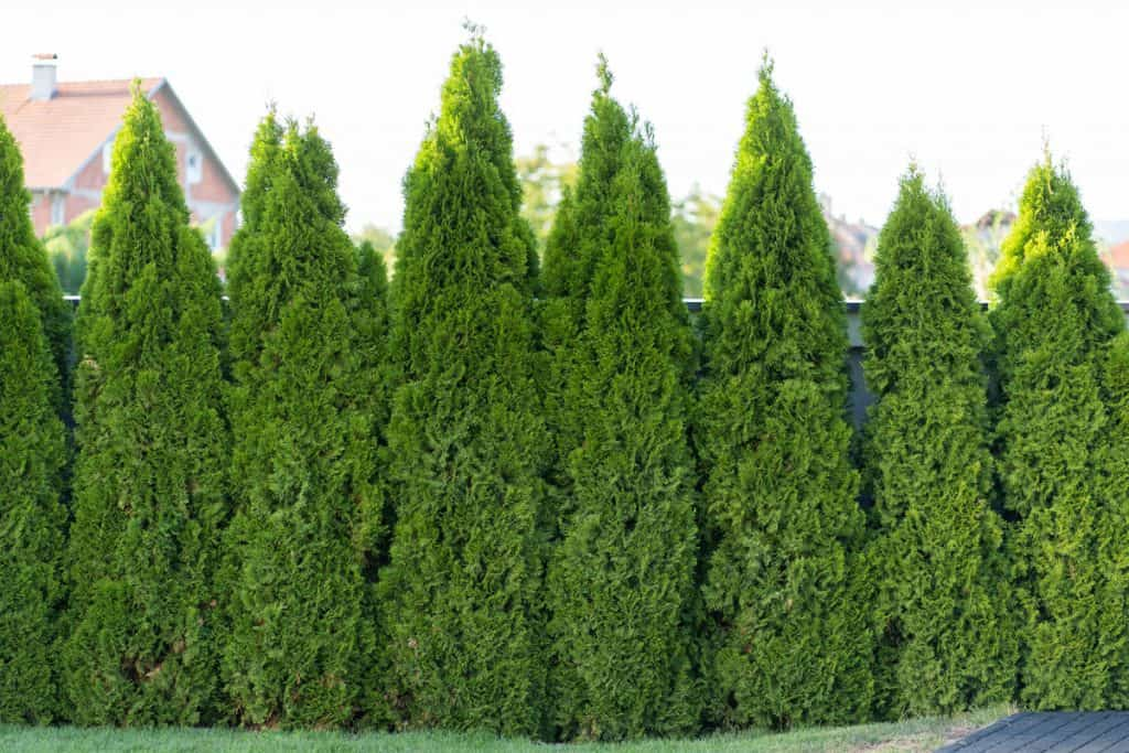 Tall arborvitae standing in line making a wall