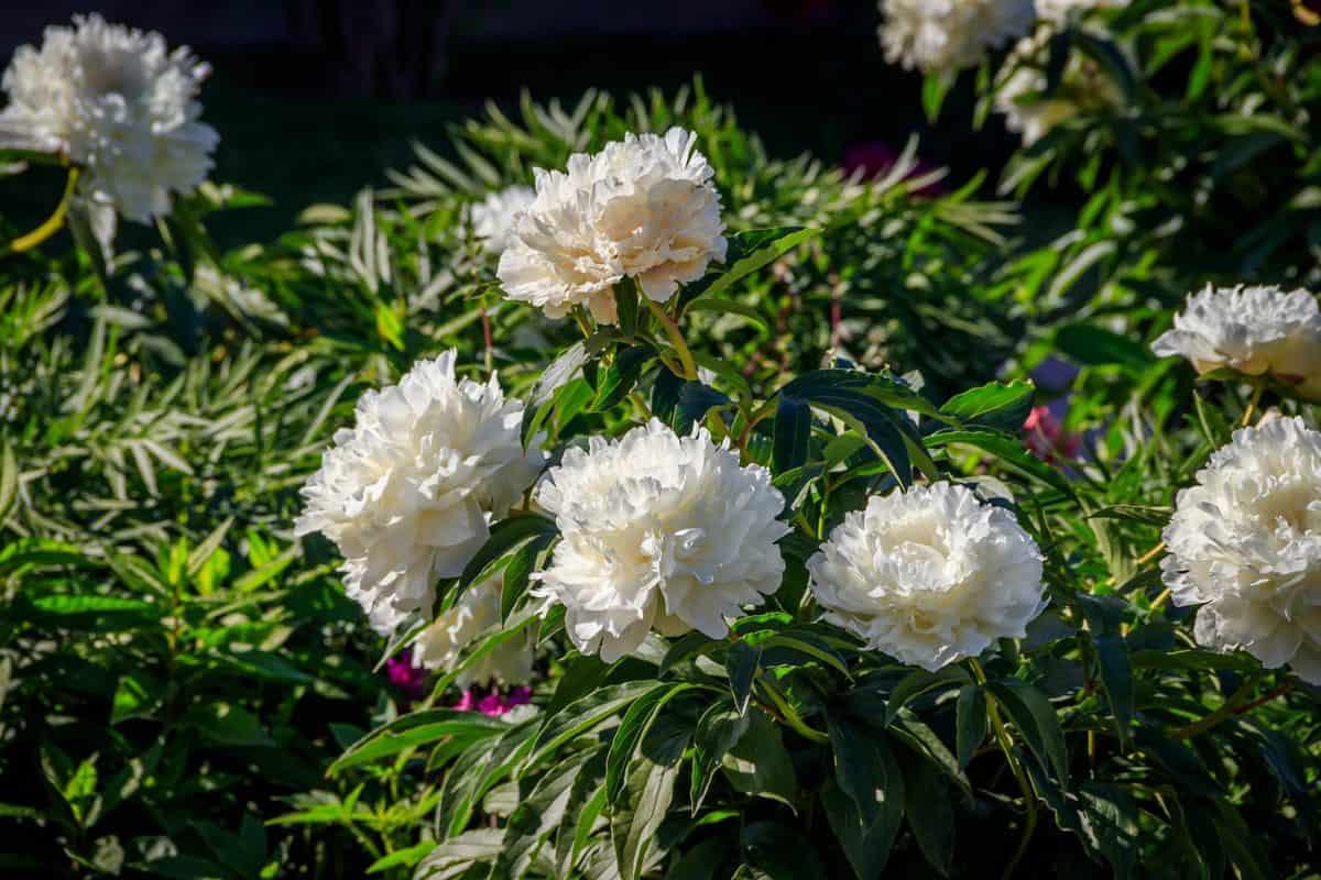Full bloom white Peonies in house garden
