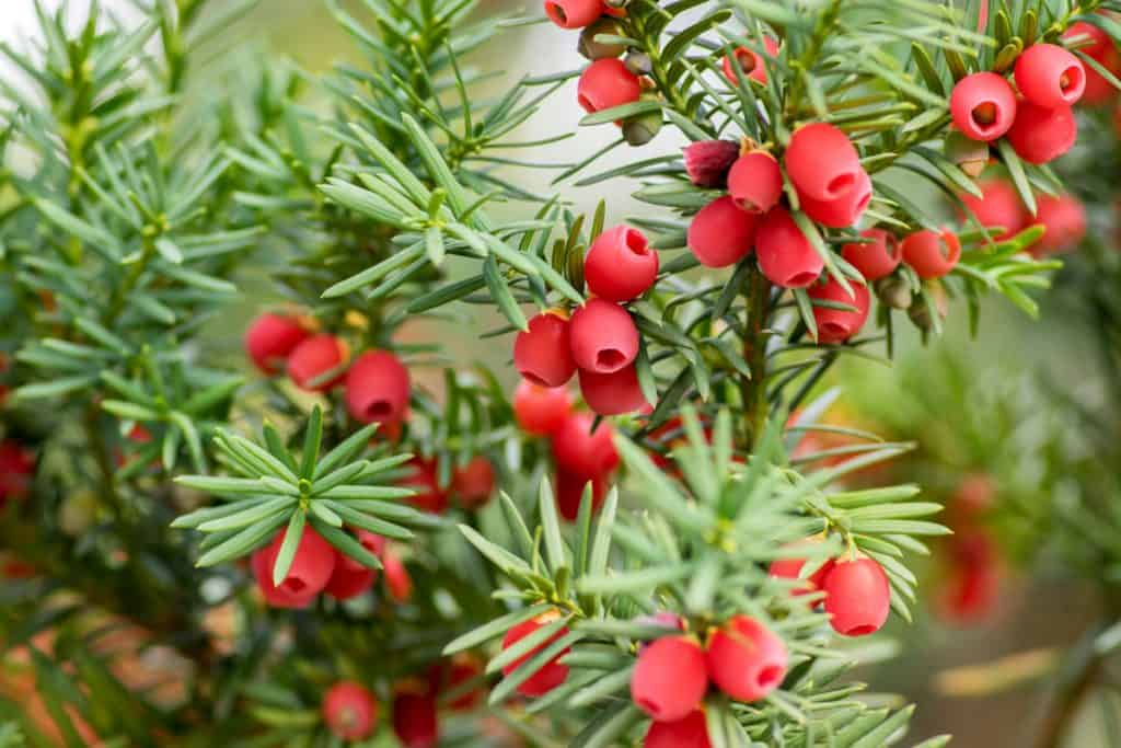 Yew shrubs with red berry like fruit