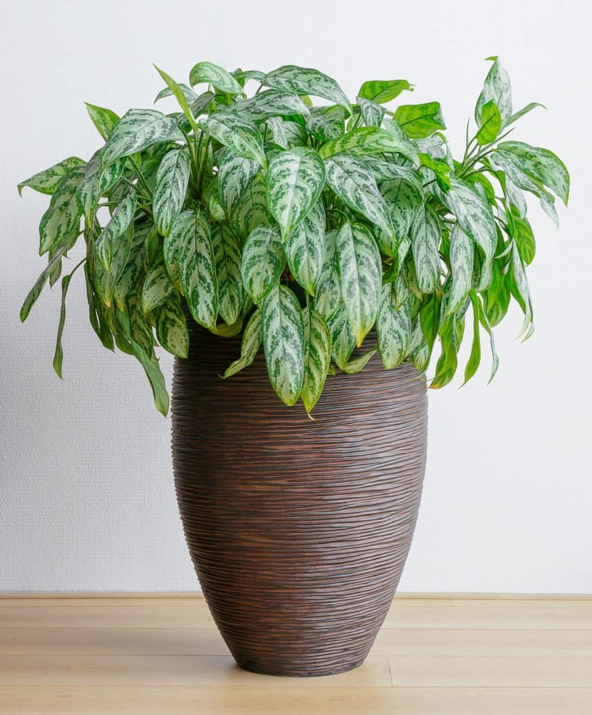 Chinese Evergreen thrives in wet soil
