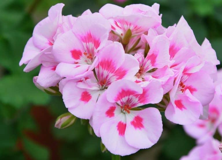 15 Pink Geranium Varieties For Your Garden