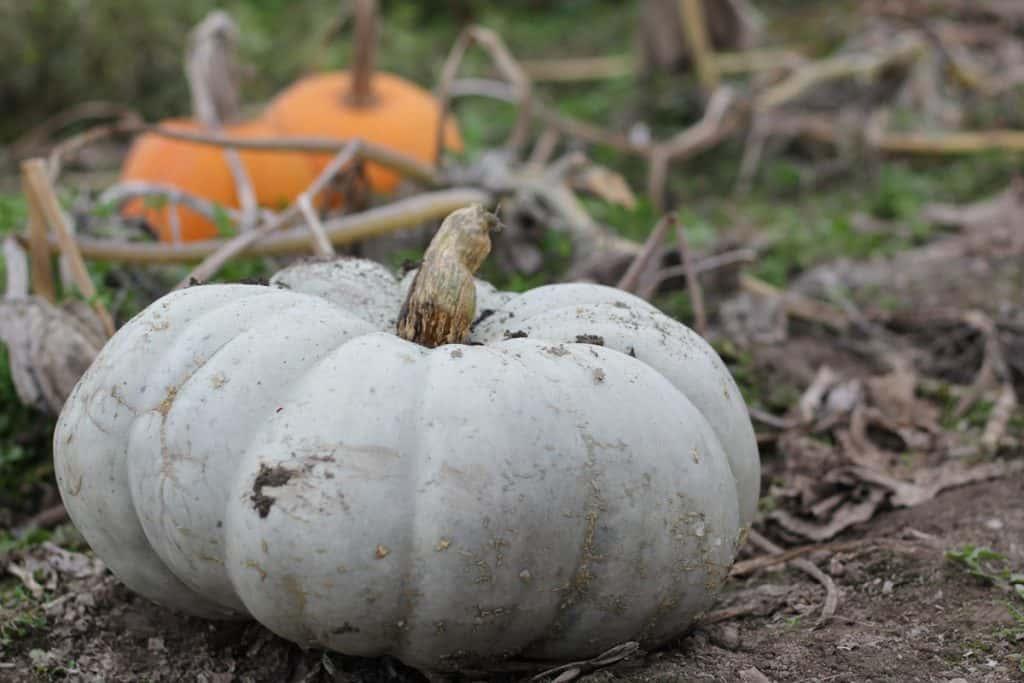 A close up shot of Jarrahdale pumpkin