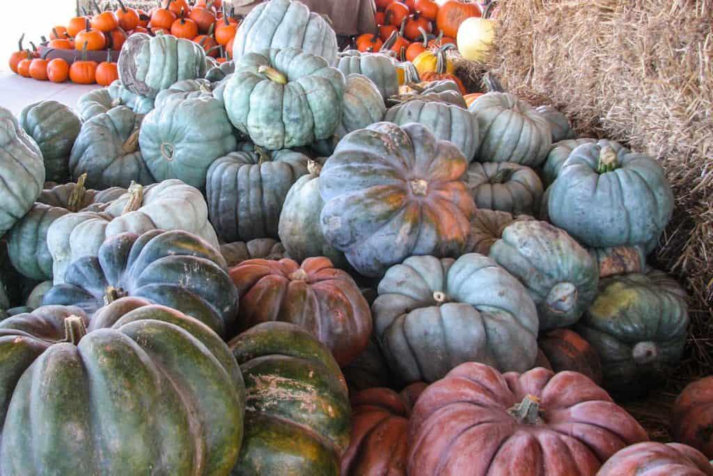 A stockpile of Jarrahdale pumpkins