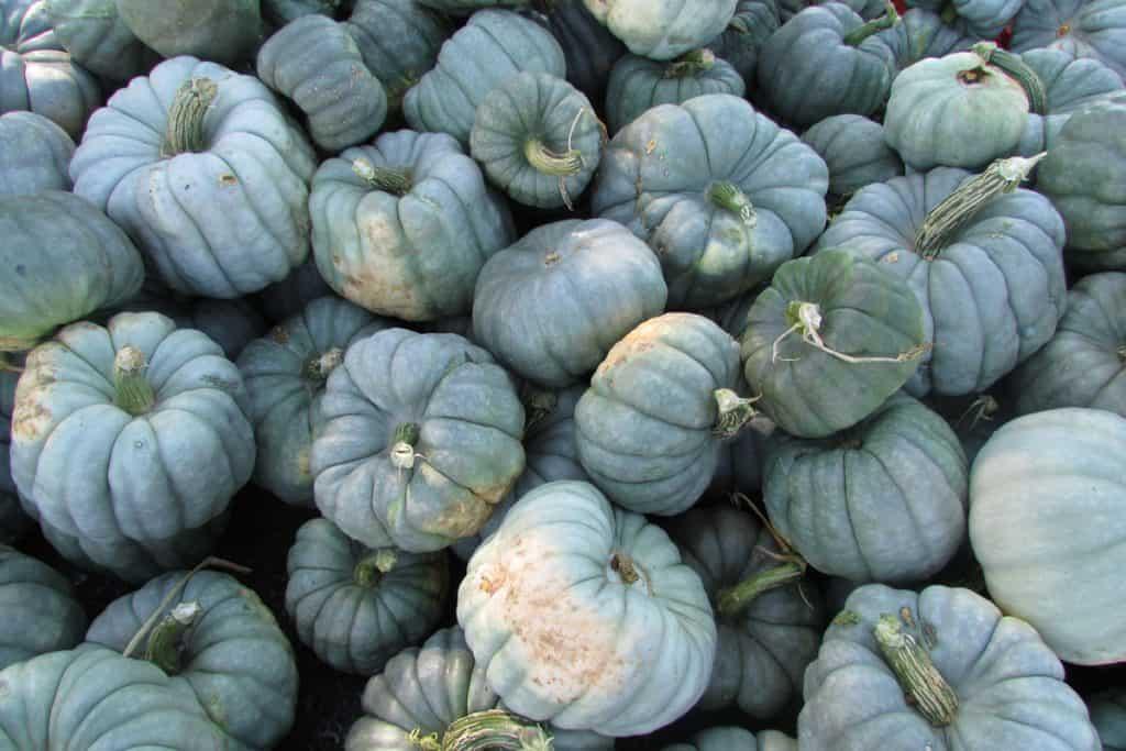 A stockpile of blue and beautiful Jarrahdale pumpkins