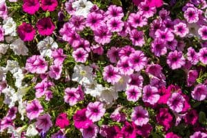 Do Petunias Bloom All Summer?
