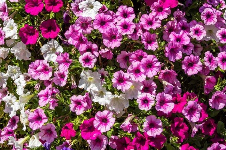 Do Petunias Bloom All Summer?