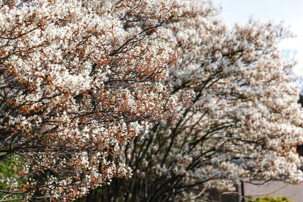 Spring white blossom Amelanchier