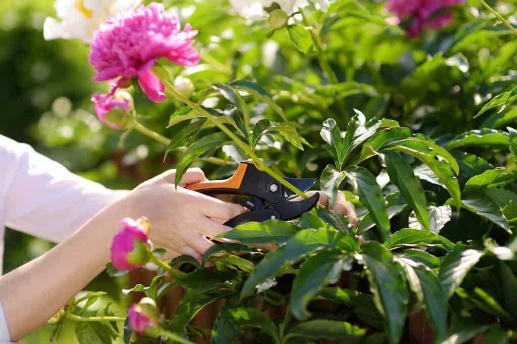 Cutting peonies in the garden
