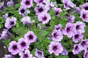 Wave Petunias [Care Guide, Pictures and More]