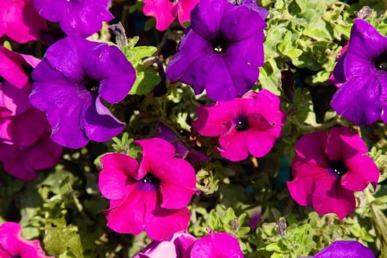 Pink and Purple Petunias Varieties for Your Garden