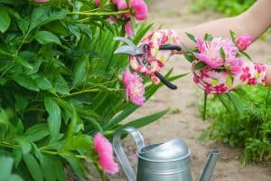Read more about the article When to Cut Back Peonies (And How to Do That)?