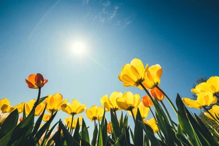 Do Tulips Need Sun?