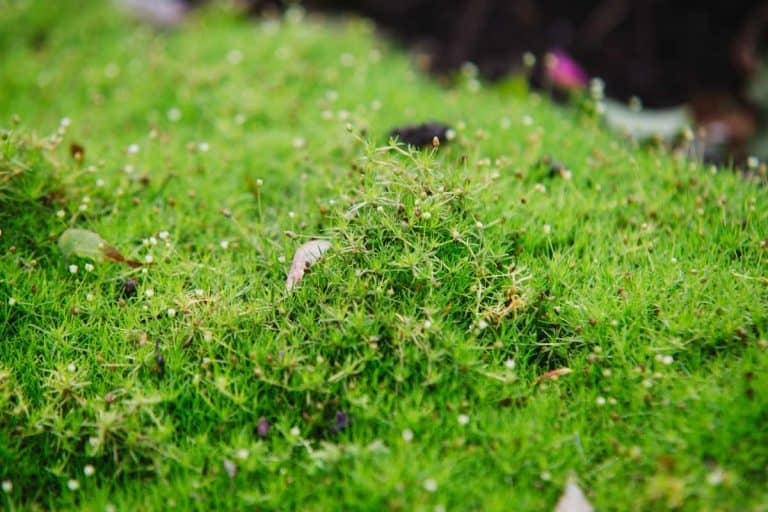 Irish Moss for Your Garden (Care Tips, Facts and Pictures)