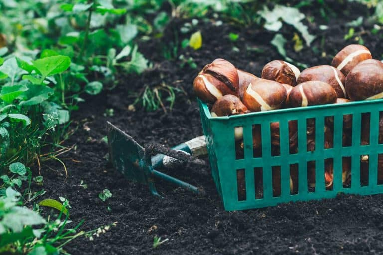 When to Plant Tulip Bulbs?