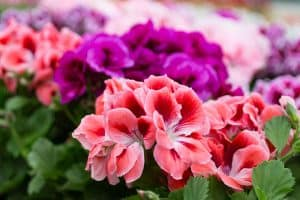 How to Grow Geraniums [Care Tips, Pictures and More]
