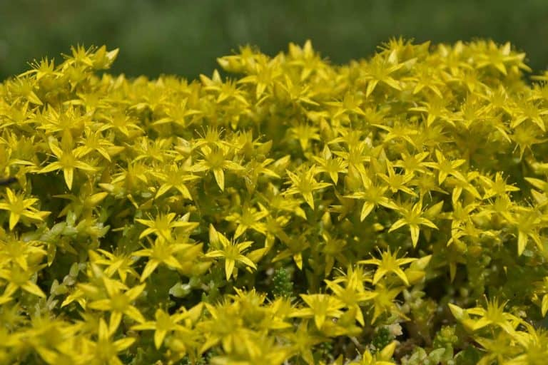 Gold Moss For your Garden (Care tips, Facts and Pictures)