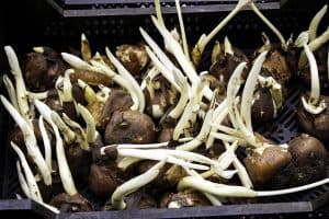 Read more about the article How to Store Tulip Bulbs After Digging Them Up?