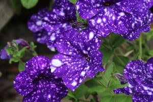 Galaxy Petunia Guide [Care Tips, Pictures and more]