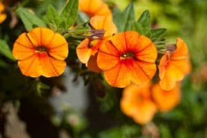 Orange Petunias Varieties You Can Plant in Your Garden