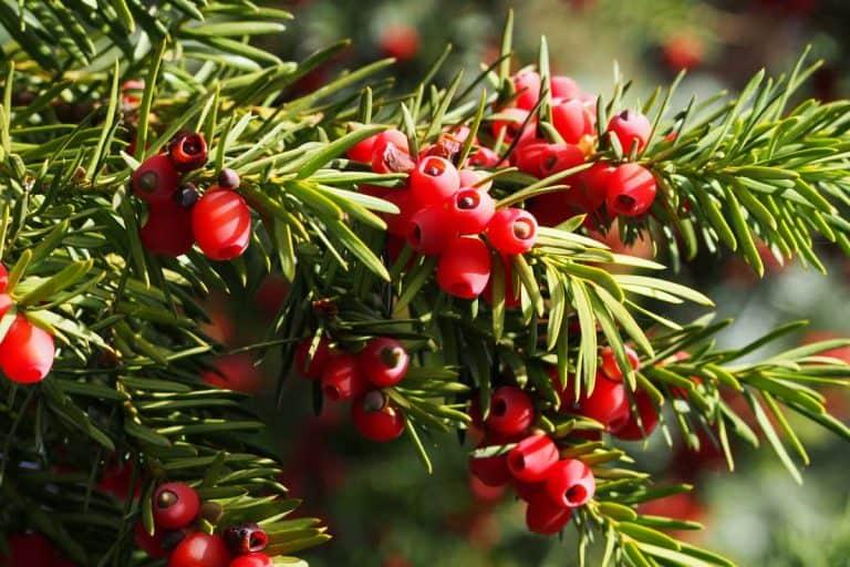 15 Low Maintenance Evergreen Shrubs For Your Garden
