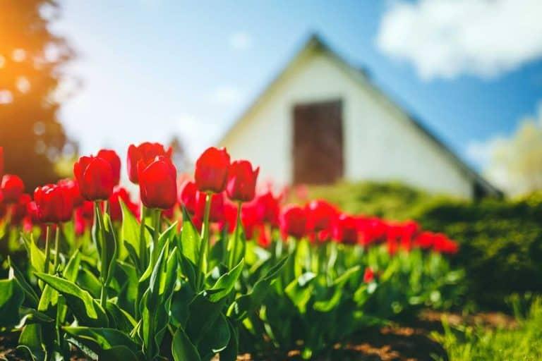 Do Tulips Spread?