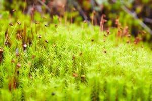 Read more about the article Hair Cap Moss For Your Garden (Care Tips, Facts, And Pictures)