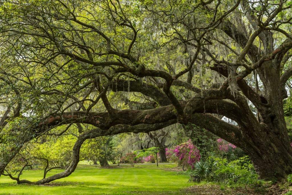 Grass under oak tree