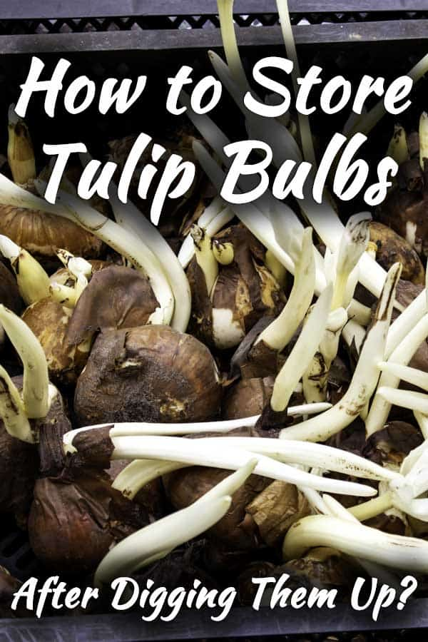 How to Store Tulip Bulbs After Digging Them Up?