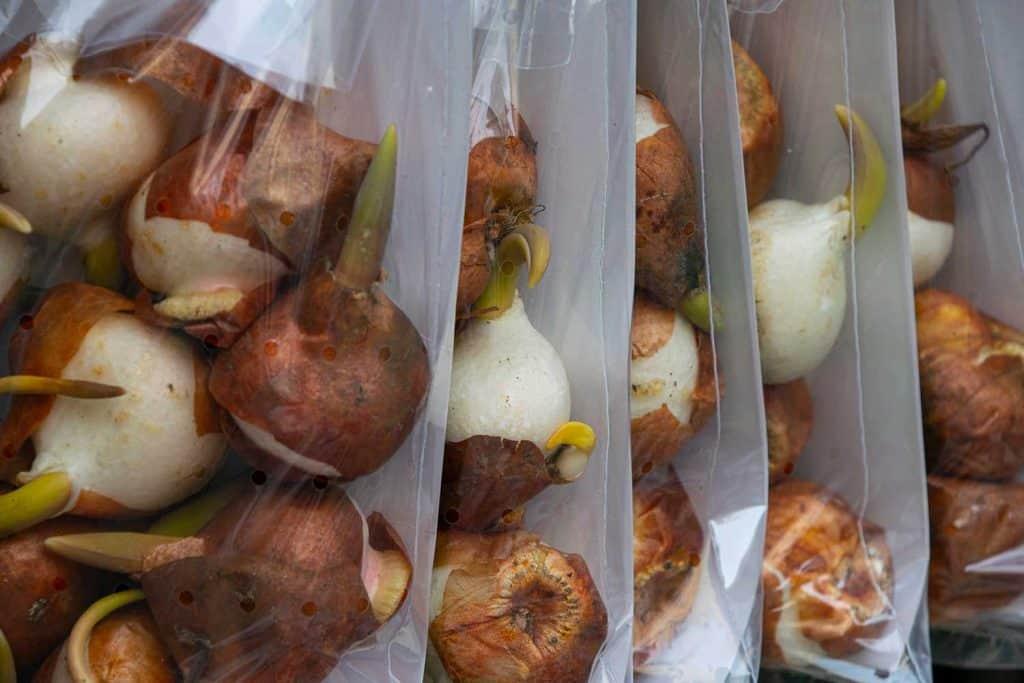 Packed tulip bulbs