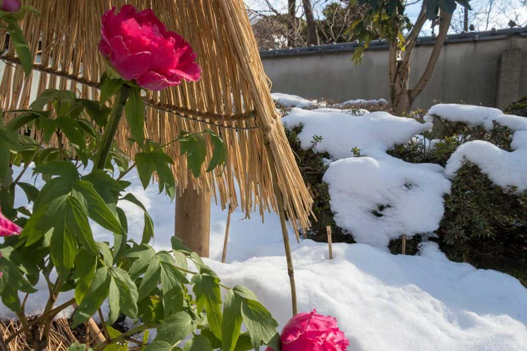 Peonies during winter