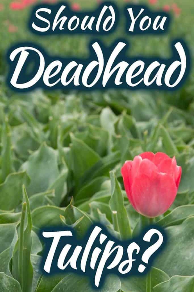 Should you deadhead tulips?